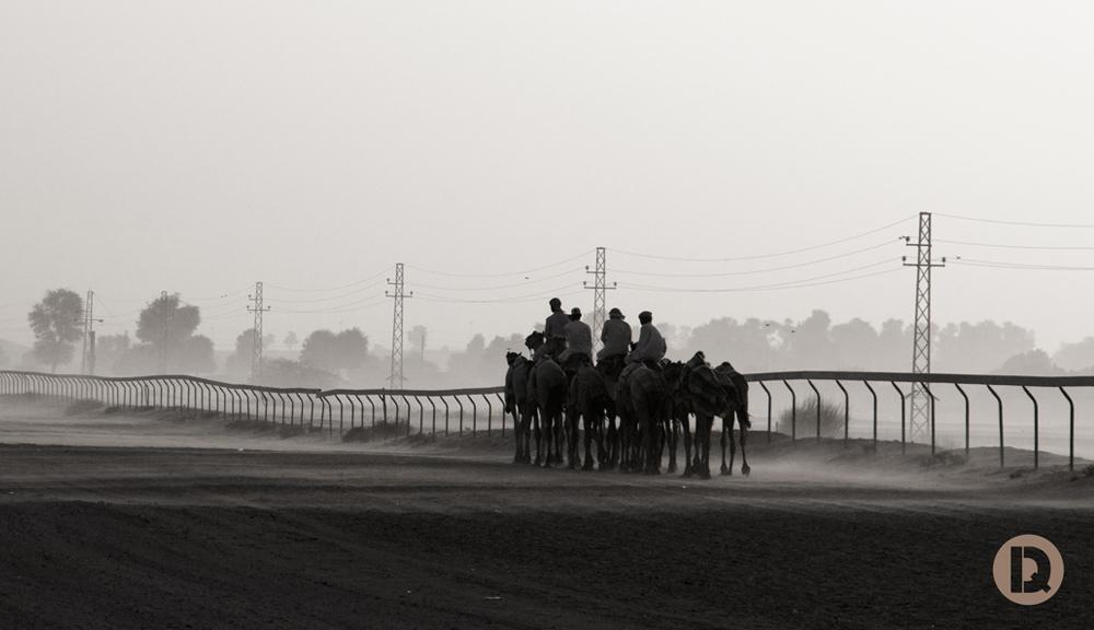 Camels 1050